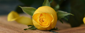 Yellow Rose After Care Program