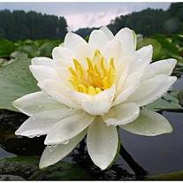 Anne Carol Slipper Flower